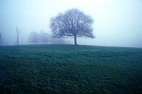Tree in the Fog, Low Angle View, Pan Focus