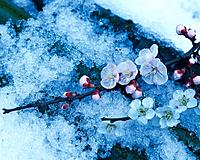 Plum blossoms on the snow