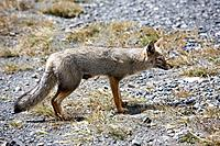Andean grey fox (Pseudalopex griseus), Torres del Paine National Park. Patagonia, Magallanes Region, Chile