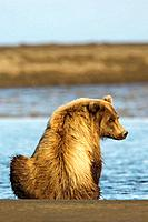 Grizzly Bear (Ursus arctos horribilis) sitting by a river, Lake Clark NP, Alaska