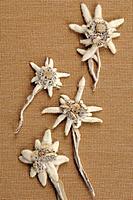 Edelweiss flowers Leontopodium alpinum