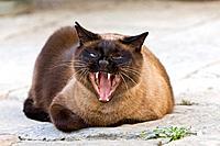 Siamese cat yawning, portrait