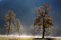 Austria, Tirol, Karwendel, Field maple trees in morning mist