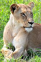 African adult female lioness sitting with paws crossed, Kruger National Park, South Africa