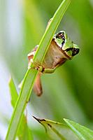 Camouflaged African green reed frog on vegetation looking with big gold eyes, Malawi