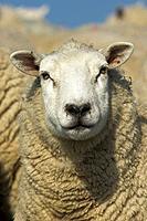 Lleyn ewe/ sheep
