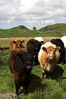 Galloway type cattle near Steel Rigg , Northumberland on Hadrians Wall