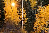 Autumn aspens contrast against evergreens near Oowah Lake in the La Sal Mountains outside Moab, Utah, USA