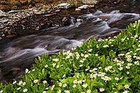 Clear Creek rushes past marsh marigold lining the streambank in the San Juan Mountains, Colorado, USA