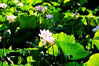 Pink lotus flowers growing among leaves.