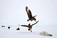 Brown Skua Catharacta antarctica fight over the carcass of a Emperor Penguin Aptenodytes forsteri, colony at Snow Hill Island, Weddel Sea, Antarctica