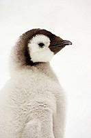 Emperor Penguin Aptenodytes forsteri chick at Snow Hill Island, Weddel Sea, Antarctica