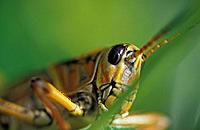 Extreme close_up of grasshopper