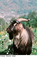 France _ Savoie _ Goat