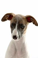 Whippet, puppy, 11 weeks