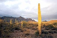 USA - National Park - Arizona - Saguaro (thumbnail)