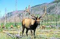 USA _ National Park _ Yellowstone _ Cerf