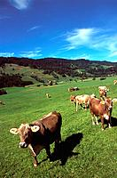 Germany _ Bavaria _ Countryside _ Cow