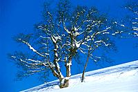 Mountain _ Tree with Snow