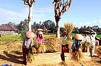 Indonesia _ Bali _ Rice threshing