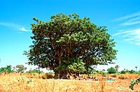 Senegal _ La petite_Cote _ Region Joal_Fadiouth _ Baobab geant