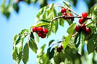 France _ Pyrenees Orientales _ Cerises de Ceret