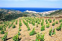France _ Pyrenees Orientales _ Vignobles de Banyuls