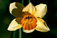 Narcissus _ a yellow star with a warm amber heart