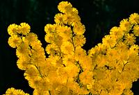Acacia dealbata - yellow - sunny - cheerful (thumbnail)