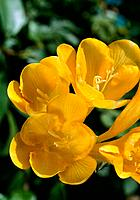 Freesia _ translucent yellow petals
