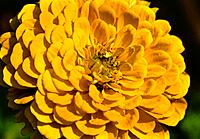 Zinnia _ yellow _ a sturdy flower and yet passing