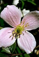 Clematis montana _ pink _ tender _ lovable _ delicate _ inviting