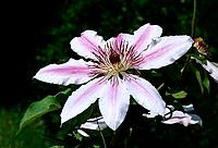 Clematis Nelly Moser _ rose_mauve _ an attractive star invited in your garden