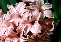 Hyacinth _ fairy _ a charming cluster of tender and perfumed flowers _ spring is in the air