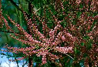 Cotoneaster horizontalis _ abundance of small pink flowers on delicate branches