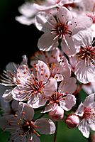 Prunus cerasifera _ plenty of small attractive stars with numerous long filaments bearing ambery anthers