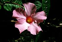 Mandevilla _ pink star _ wamth and light radiating from the heart