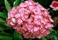 Dianthus barbatus _ pink _ dense cluster of sweet smelling delicate flowers