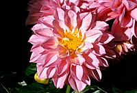 Dahlia _ pink _ tender _ charming