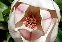 Magnolia soulangeana _ white _ purple veins _ a secret heart of abundant stamens