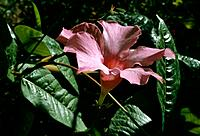 Mandevilla _ pink star _ radiant in early morning sun