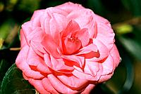Camellia _ pink _ sophisticated _ refined _ elegant _