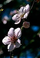 Prunus persica _ tender pink _ spring promise _ morning light