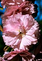 Prunus Kazan _ pink _ double _ edged with morning dew _ spring