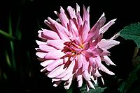 Dahlia _ pink _ double _ elegance _ light