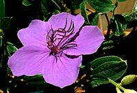 Tibouchina semidecandra _ purple _ surprising and spectacular stamens