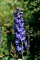 Delphinium Elatum _ radiant blue _ attractive panicle of bright flowers