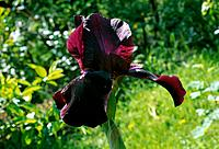 Iris rhizomatous _ garnet_purple _ a proud messenger