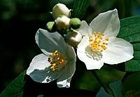 Philadelphus coronarius _ white _ pretty and delicate _ exhaling a sweet perfume