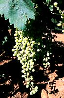 Greece _ Crete _ Vine _ Grapes